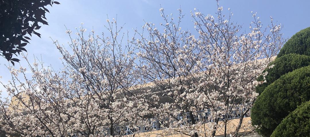 桜が満開になりました!
